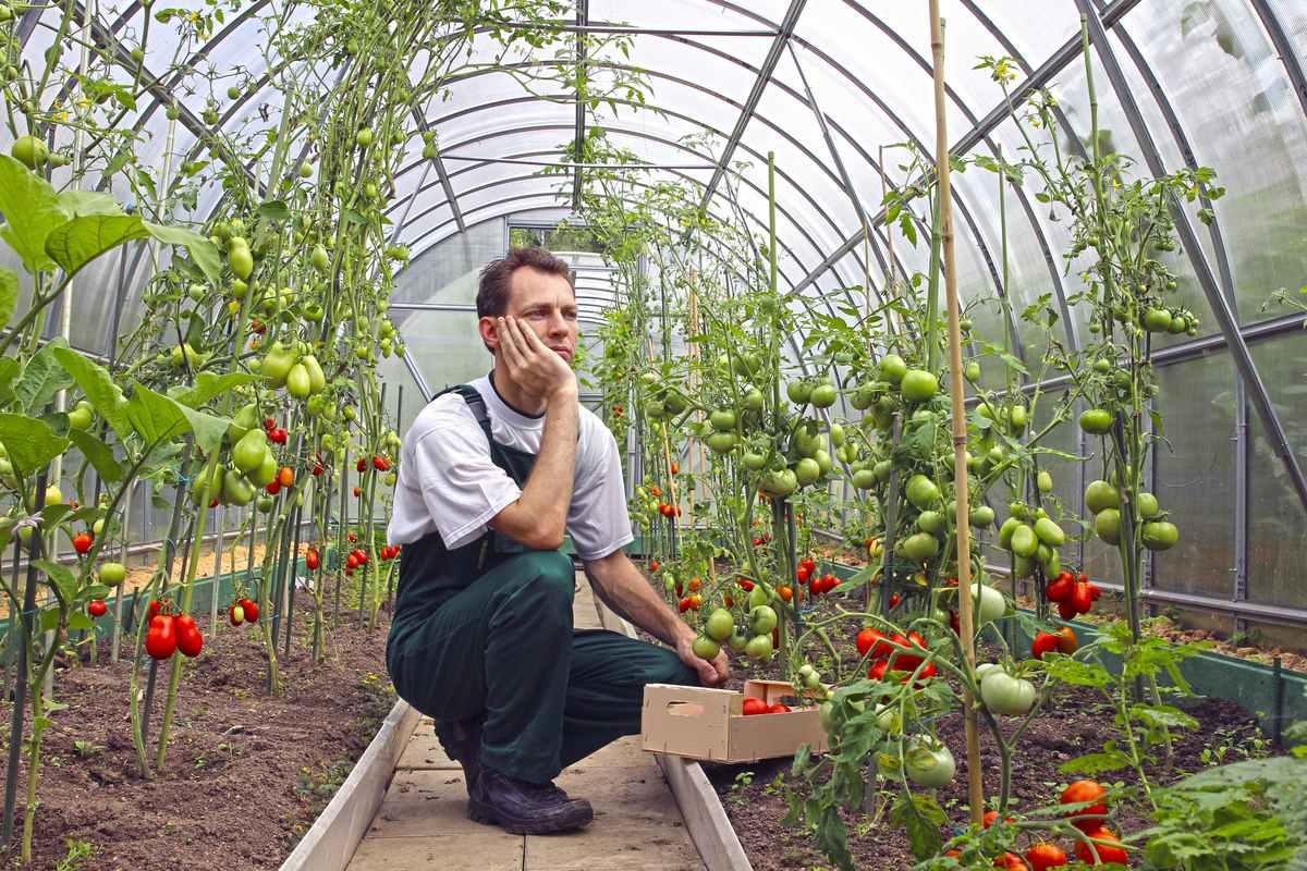 чем лучше подкормить помидоры в теплице