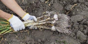 Что посадить после чеснока
