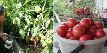 Подкормка помидоров после посадки
