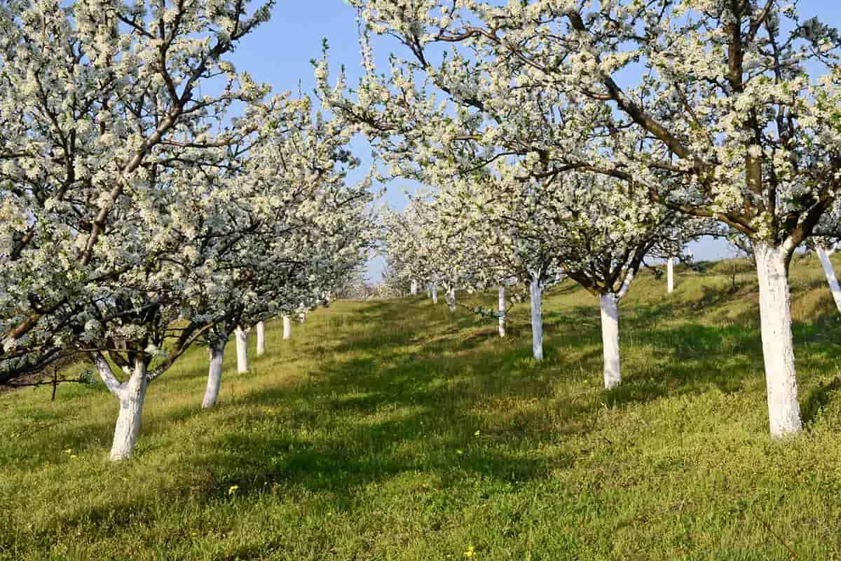 сколько плодоносит вишня